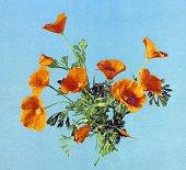 Photomechanical print of California poppies