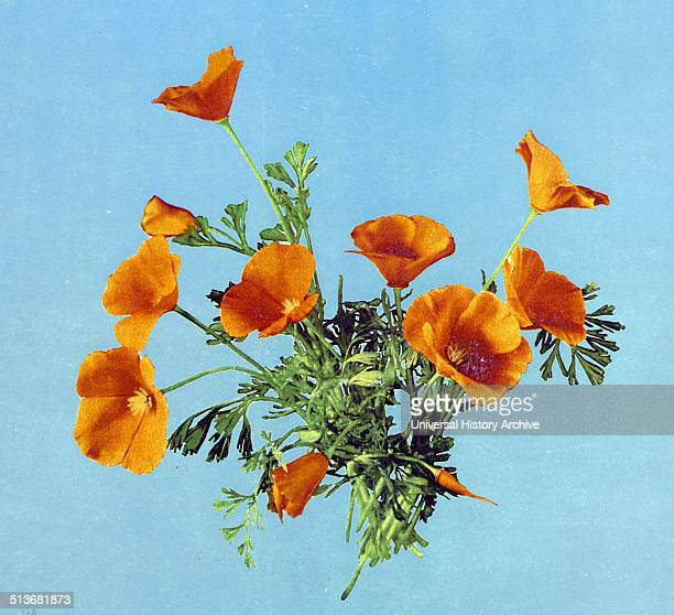 Photomechanical print of California poppies