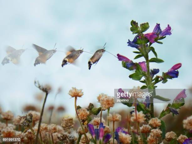 Photos Butterfly hummingbird hawk-moth (Macroglossum stellatarum). Sequence