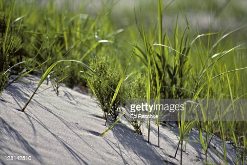 Photosynthesis. Back-lit dune grass and horsetails. Long Point, Ontario. Canada : Stock Photo