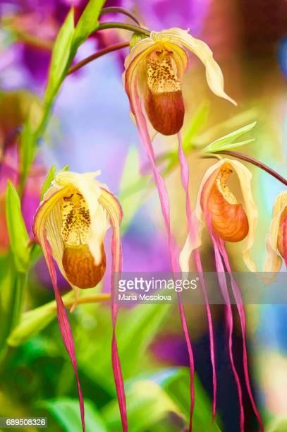Phragmidedium Orchid Court Jester
