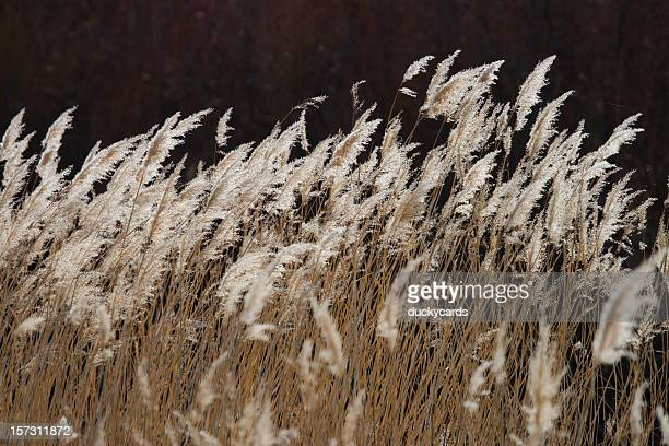 Phragmites (Common Reed