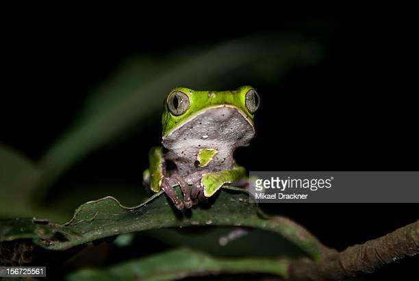 Phyllomedusa tree frog