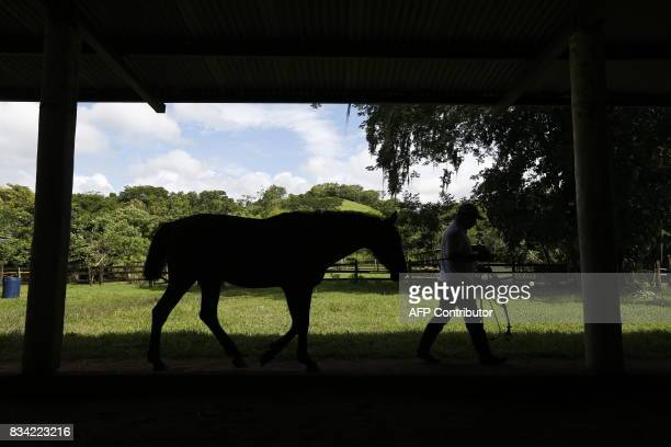 Physiotherapist Gustavo Vallejo pulls a horse before a hippotherapy session with children in Matagalpa town some 130 kilometres from Managua on...