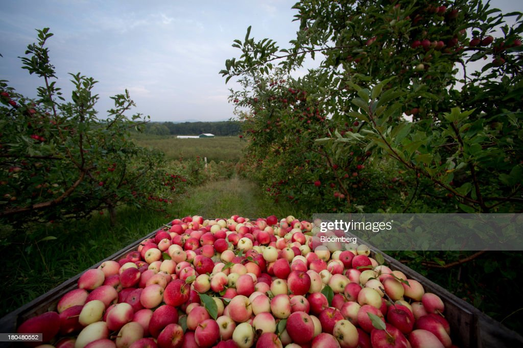 Picked apples sit in a crate at Stone Ridge Orchard in Stone Ridge, New York, U.S., on Thursday, Sept. 12, 2013. With apple harvest now officially underway across the state of New York, nearly 700 apple growers are expected to pick about 32 million bushels by the time harvest concludes in November, according to New York Apple Association (NYAA) reports. Photographer: Craig Warga/Bloomberg via Getty Images