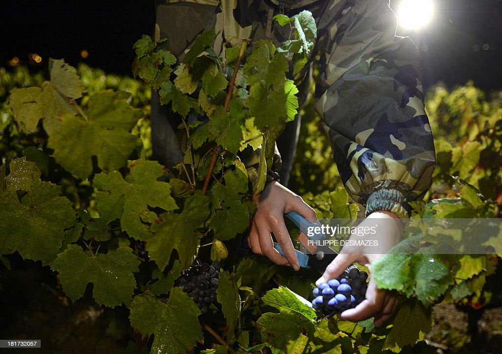 A picker cuts grapes at night on the first day of the Beaujolais' harvest on September 24, 2013 in the 'Moulin a Vent' vineyard, near Chenas, Beaujolais, eastern France. Harvest in Beaujolais region will run until October 20. AFP PHOTO/PHILIPPE DESMAZES