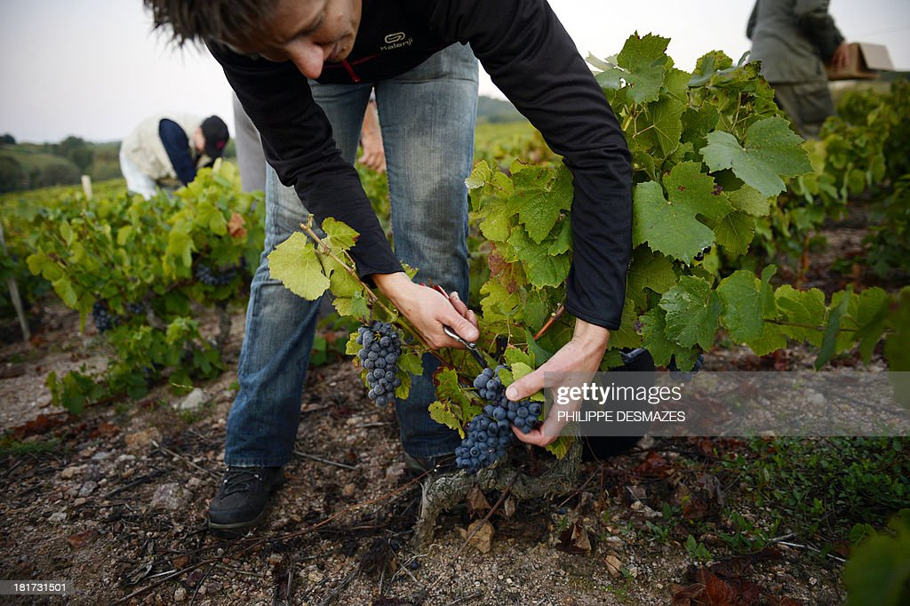 A picker cuts grapes during the first day of the Beaujolais' harvest on September 24, 2013 in the 'Moulin a Vent' vineyard, near Chenas, Beaujolais, eastern France. Harvest in Beaujolais region will run until October 20.