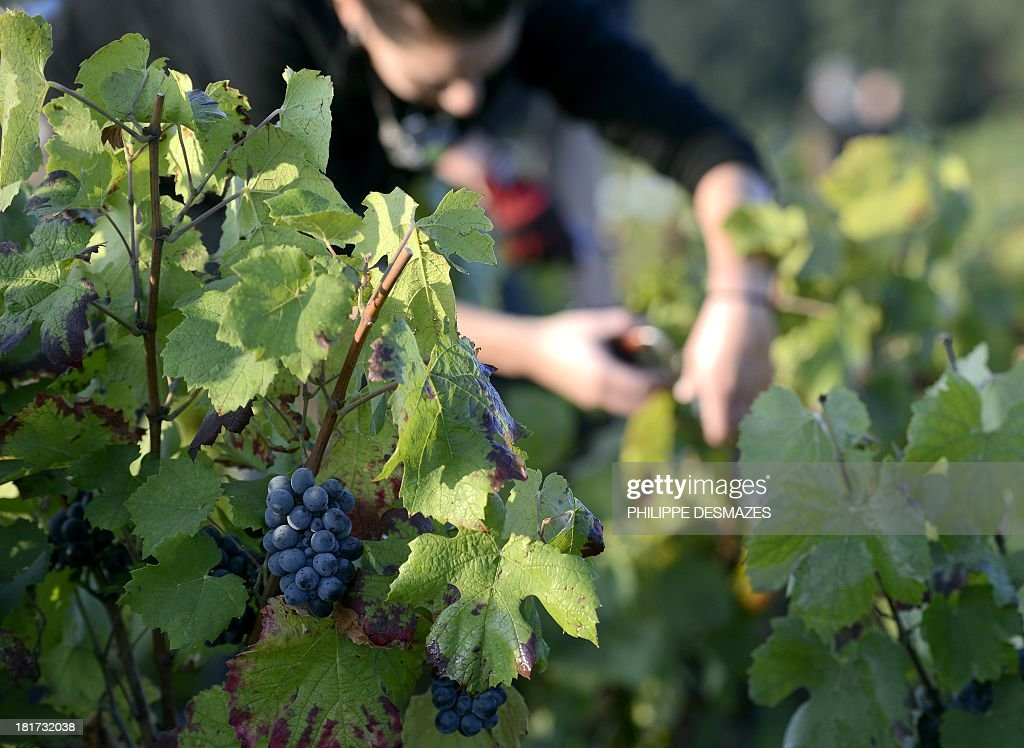 A picker cuts grapes on the first day of the Beaujolais' harvest on September 24, 2013 in the 'Moulin a Vent' vineyard, near Chenas, Beaujolais, eastern France. Harvest in Beaujolais region will run until October 20.