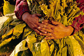 Picker Holding Tobacco Leaves