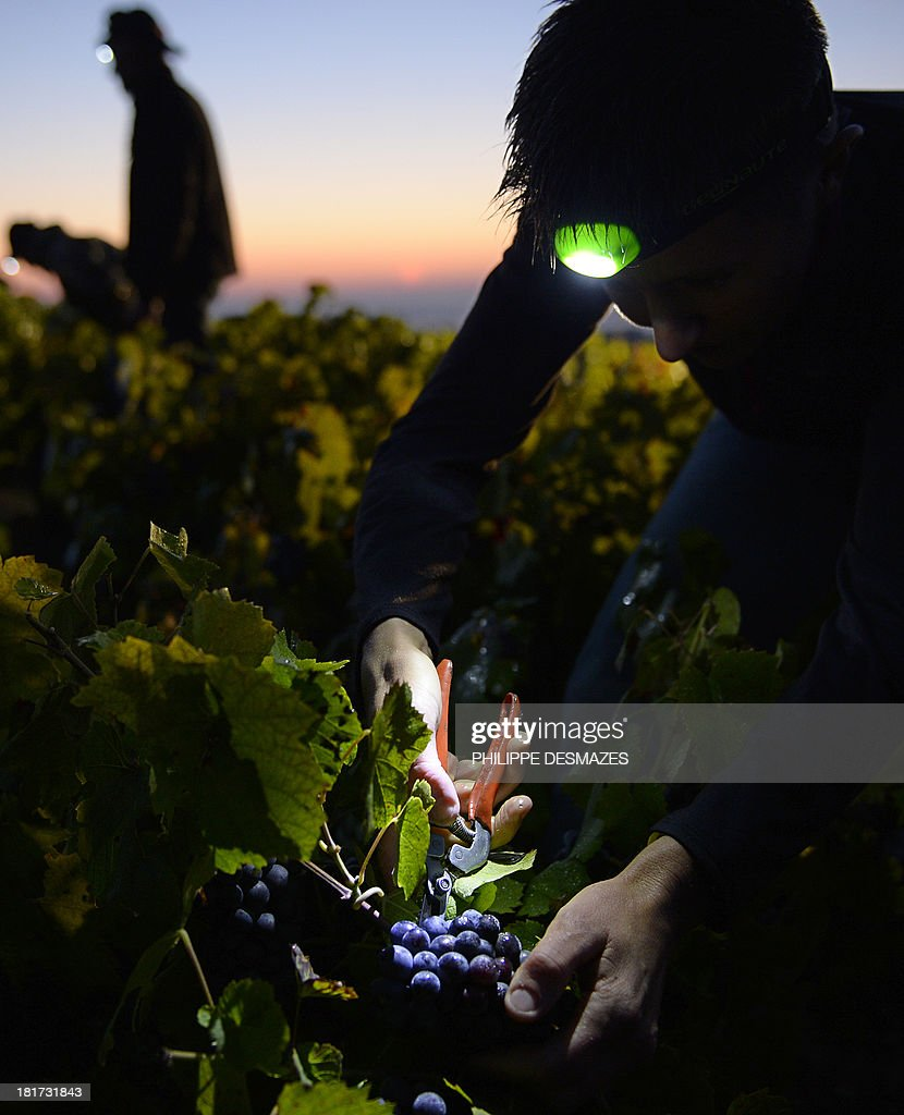 A picker working overnight cuts grapes at dawn on the first day of the Beaujolais' harvest on September 24, 2013 in the 'Moulin a Vent' vineyard, near Chenas, Beaujolais, eastern France. Harvest in Beaujolais region will run until October 20.