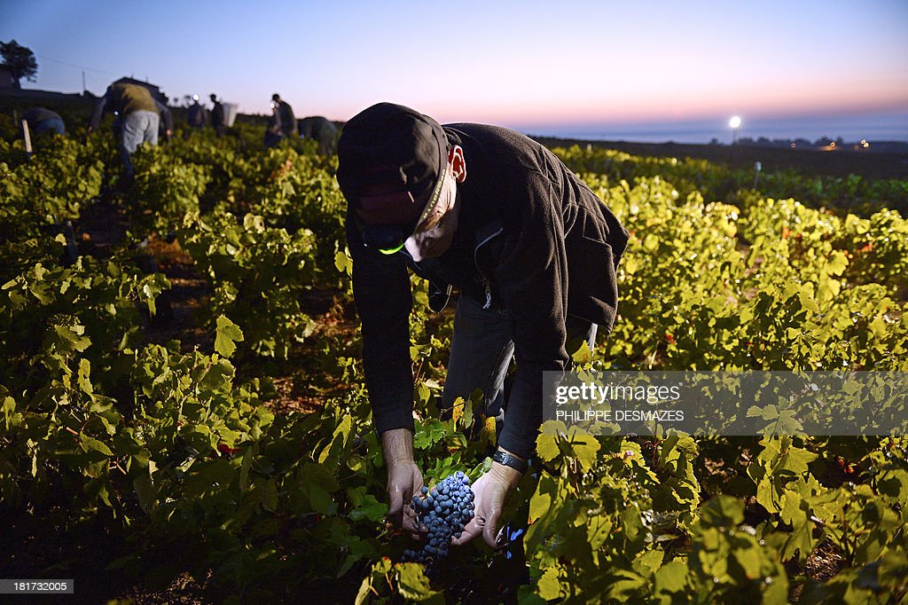 A picker working overnight cuts grapes at nearly dawn on the first day of the Beaujolais' harvest on September 24, 2013 in the 'Moulin a Vent' vineyard, near Chenas, Beaujolais, eastern France. Harvest in Beaujolais region will run until October 20.