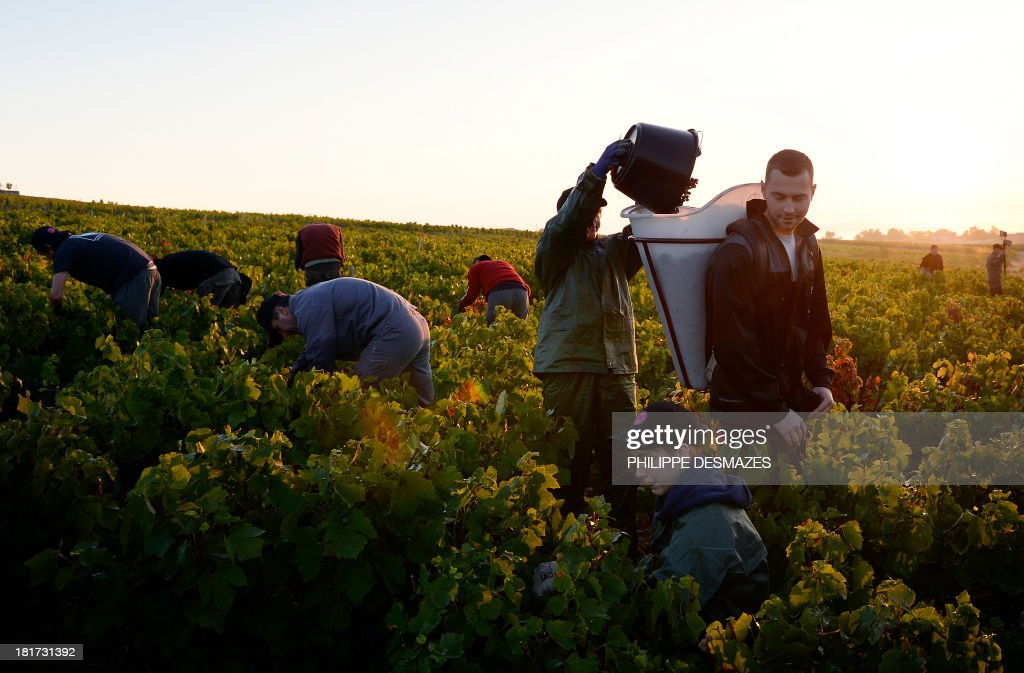 Pickers cut grapes in the early morning during the first day of the Beaujolais' harvest on September 24, 2013 in the 'Moulin a Vent' vineyard, near Chenas, Beaujolais, eastern France. Harvest in Beaujolais region will run until October 20.
