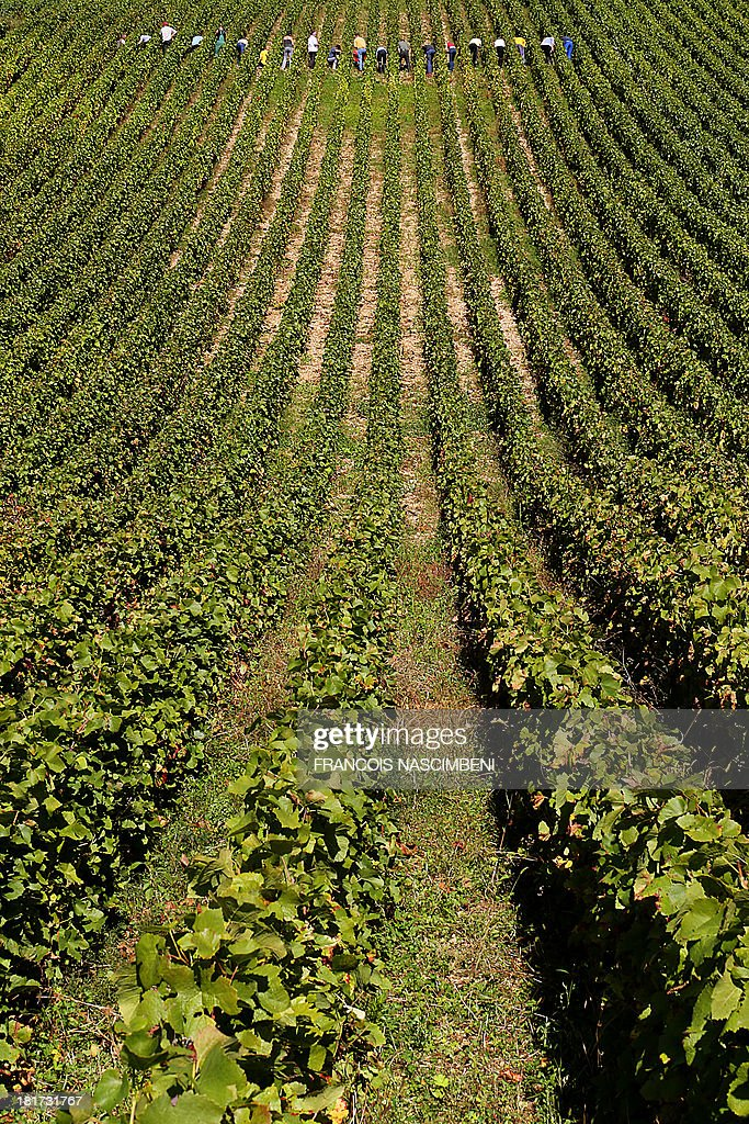 Pickers cut grapes of Pinot-Meunier and Pinot Noir on the first day of the Champagne harvest on September 24, 2013 in Buxeuil vineyard, eastern France, at the Champagne Koza-Janot vineyard.