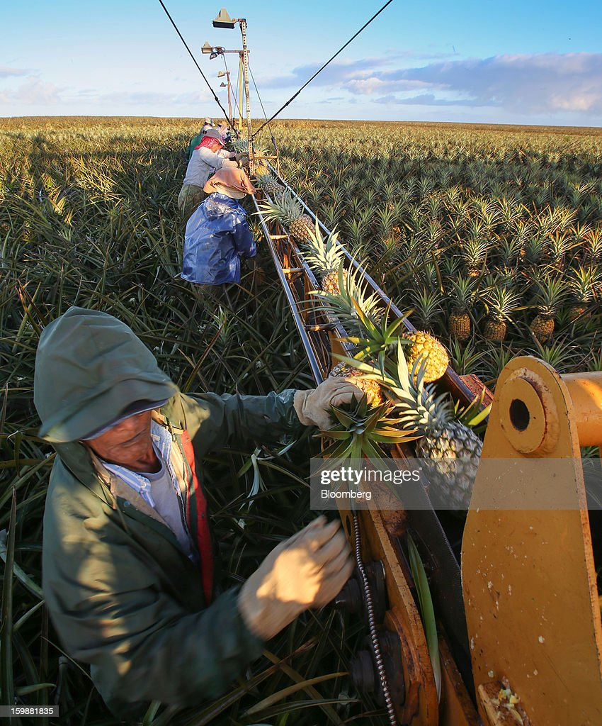 Pickers load pineapples onto a conveyor at the Dole Food Company Inc. plantation in Wahiawa, Hawaii, U.S., on Thursday, Jan. 17, 2013. Dole Food Company Inc. has evolved from a Hawaiian pineapple purveyor into the world's largest producer of fresh fruit and vegetables. Photographer: Tim Rue/Bloomberg via Getty Images
