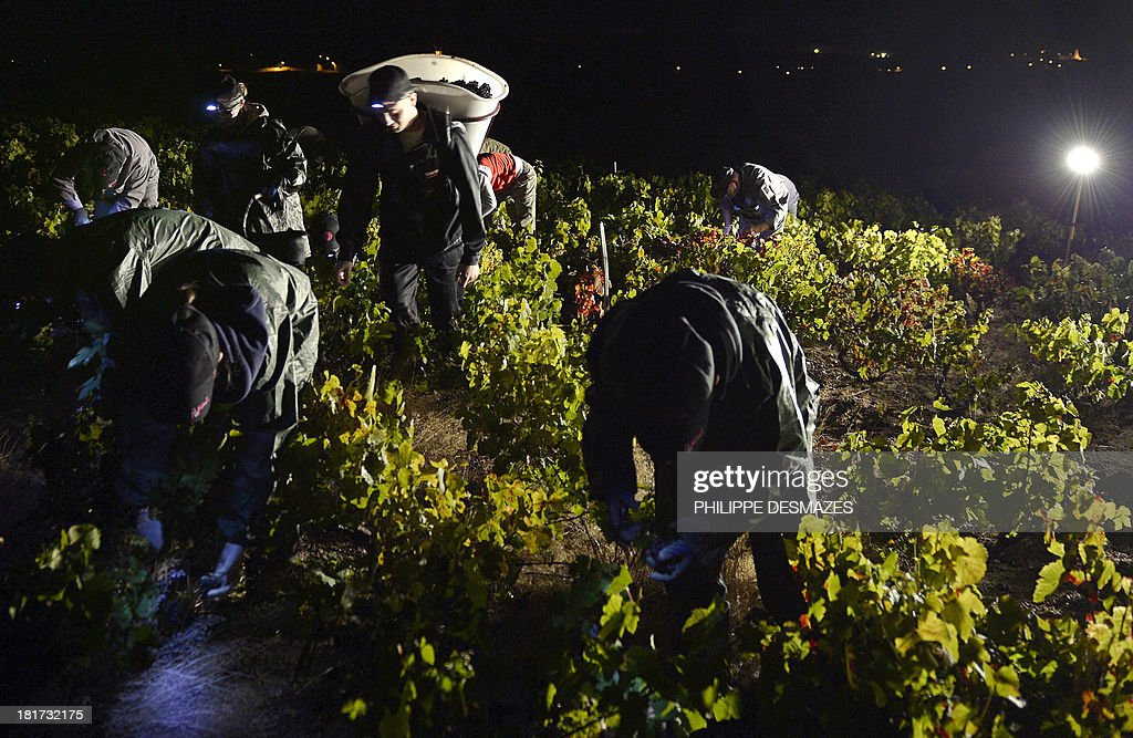 Pickers working at night cut grapes on the first day of the Beaujolais' harvest on September 24, 2013 in the 'Moulin a Vent' vineyard, near Chenas, Beaujolais, eastern France. Harvest in Beaujolais region will run until October 20.