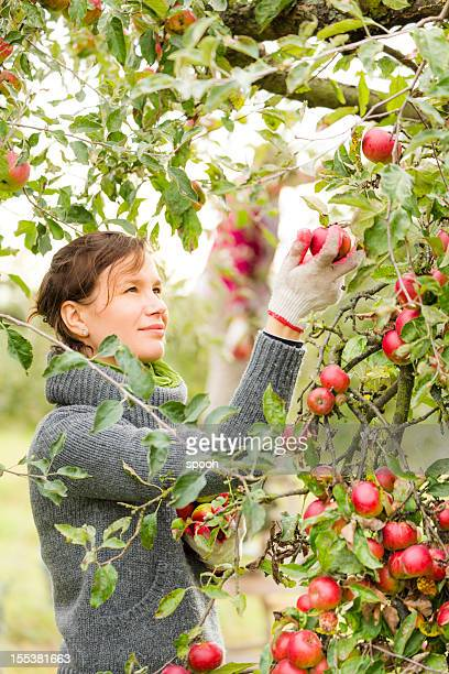 Picking apples
