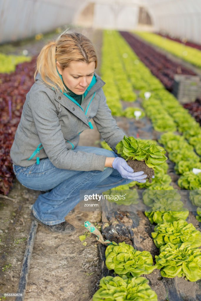 Picking lettuce : Stock Photo