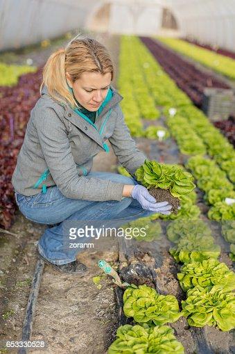 Picking lettuce : Stock-Foto