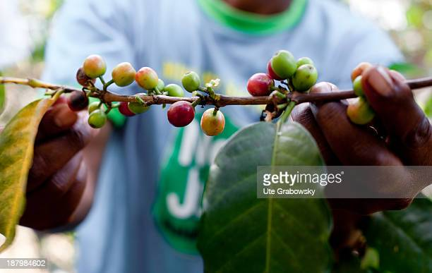 Picking of Coffee beans at a coffee cooperative the Sangana PPP Commodities Limited is supported by the GIZ the German Society for International...
