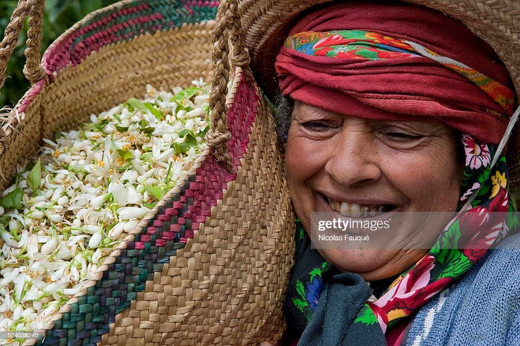 Picking of Orange flowers of Bigaradier intended for the distillation for the production of Neroli essence water of orange flowers and the absolute...