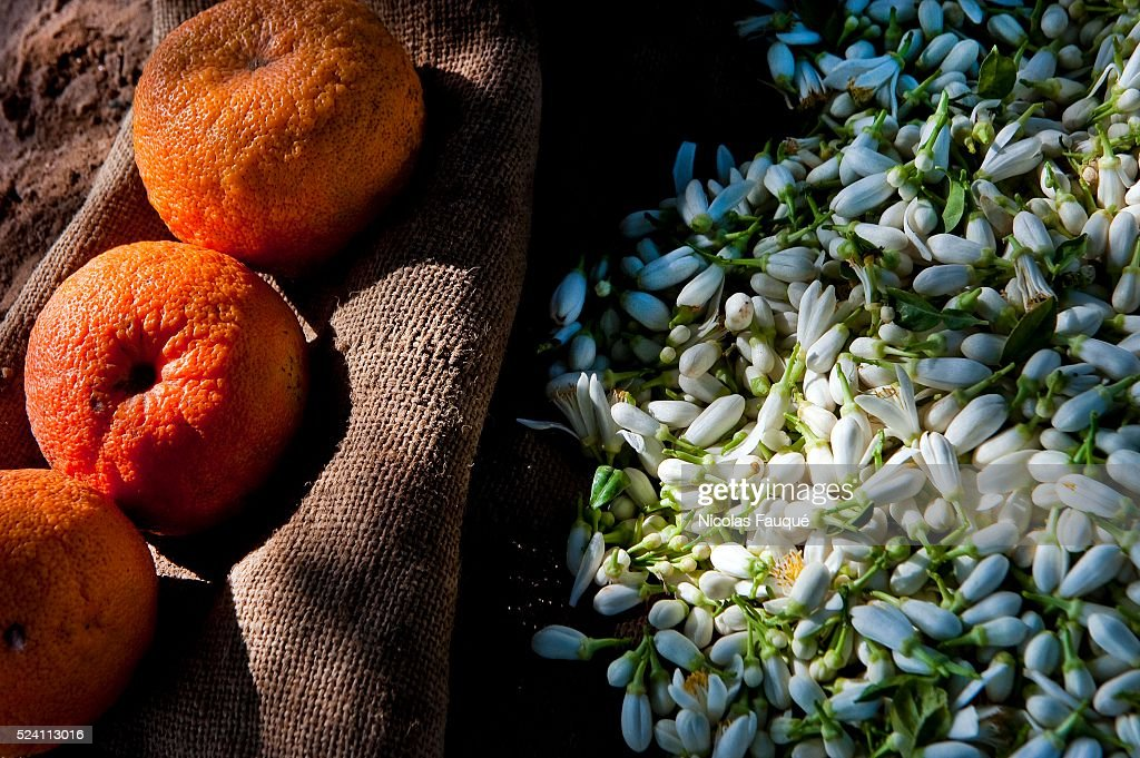 Picking of Orange flowers of Bigaradier intended for the distillation for the production of Neroli essence some water of orange flowers and the...
