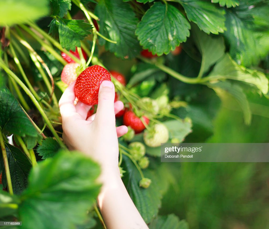Picking strawberries : Stock Photo