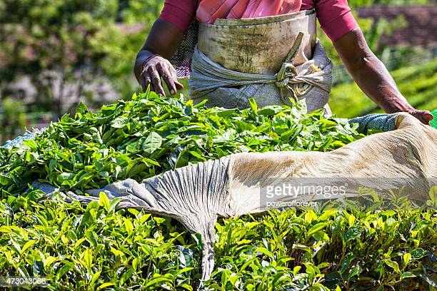 Picking Tea at Plantation in Munnar, India