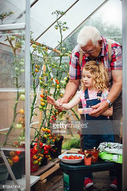 Picking Tomatoes in Grandad's Greenhouse
