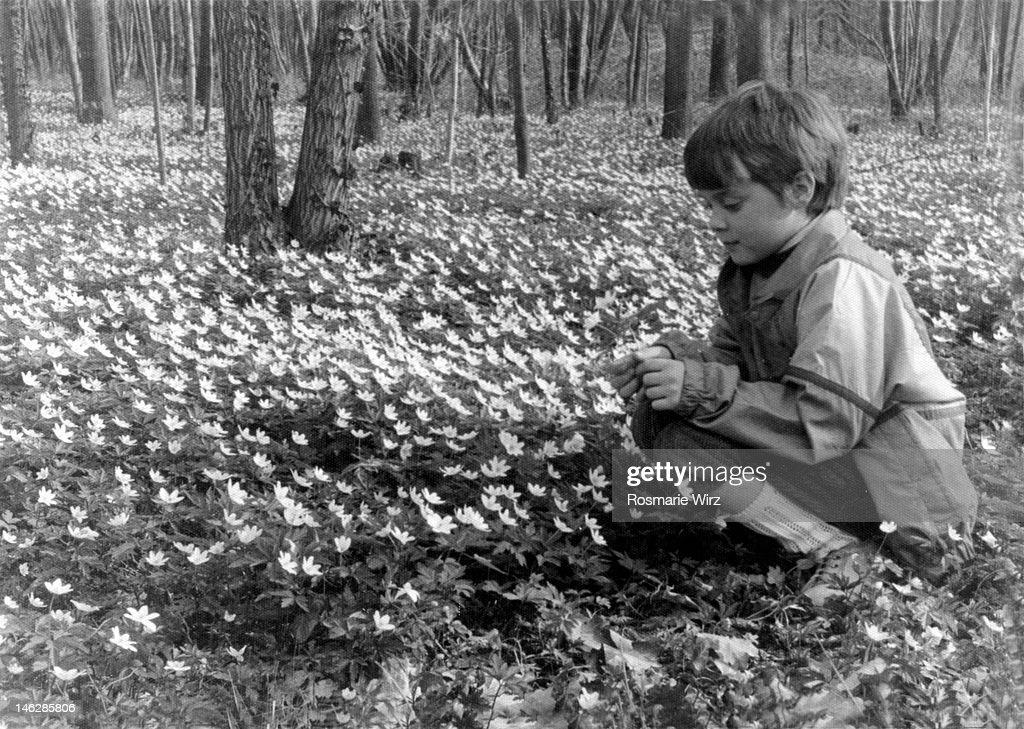Picking wood anemones : Stock Photo
