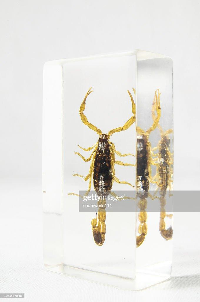 Salmuera escorpión : Foto de stock