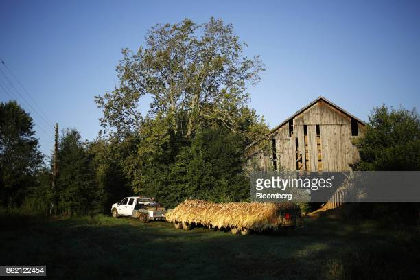 A pickup truck pulls a flatbed of burley tobacco leaves after being harvested at Tucker Farms in Shelbyville Kentucky US on Thursday Aug 24 2017...