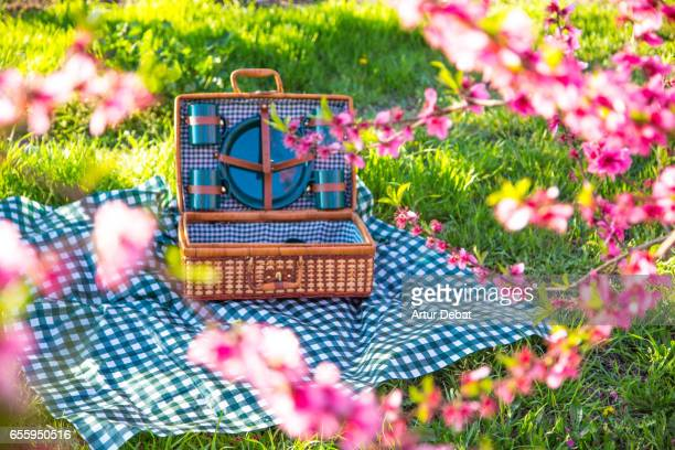 Picnic day between the blooming trees with pink flowers in a candid and idyllic place in the Catalonia countryside during springtime and warm and sunny weather.