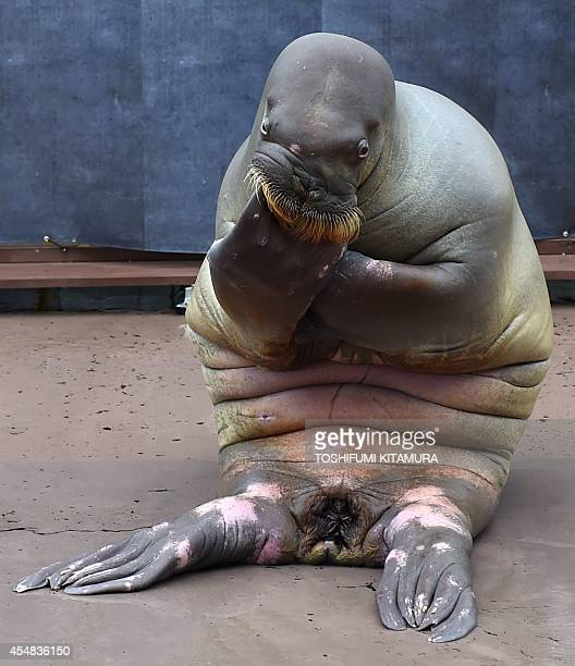 'Pico' a femalewalrus poses as 'The Thinker by Auguste Rodin' during her performance show at the Yokohama Hakkeijima Sea Paradise aquarium in...