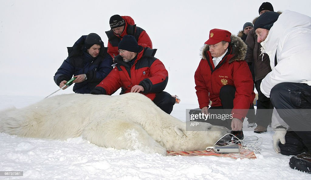 Picture made available on April 29 2010 shows Russian Prime Minister Vladimir Putin and scientists measuring a polar bear on the island Alexandra...