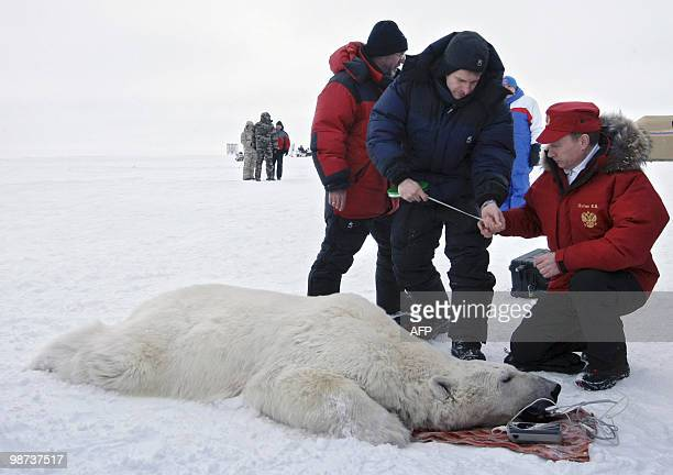 Picture made available on April 29 2010 shows Russian Prime Minister Vladimir Putin and scientists examining a polar bear on the island Alexandra...