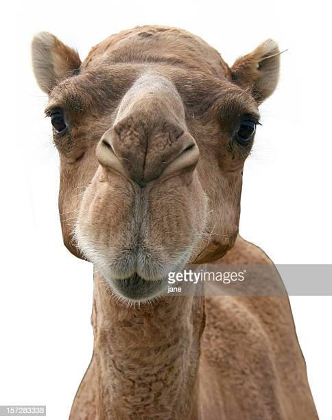 Fotografía de un camello's face sobre un fondo blanco
