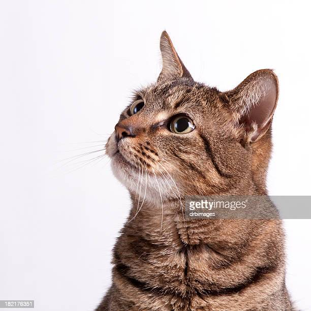 Look up Gatto Tabby