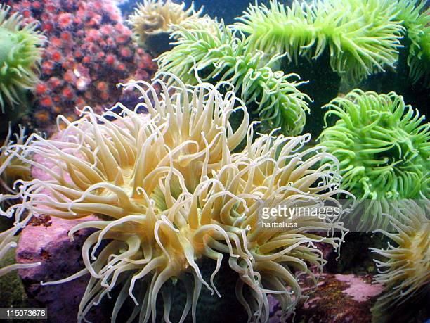 Picture of a community of sea anemones