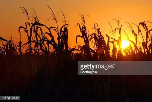 A picture of a cornfield during a sunset