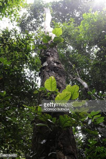 Picture of a dosel tree with epiphytes taken in the Yasuni National Park in the Ecuadorean Amazon forest on August 21 2010 AFP PHOTO / RODRIGO BUENDIA