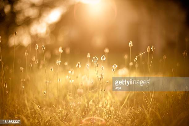 A picture of a golden field filled with sunlight