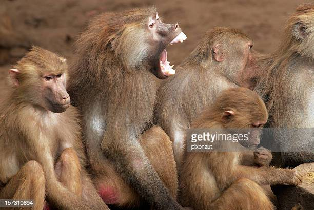 A picture of a group of baboons with one screaming