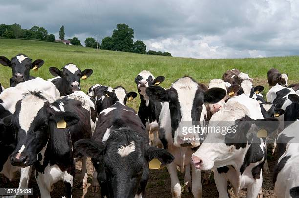 A picture of a herd of cows in a field