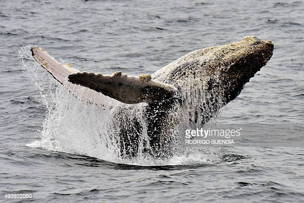 Picture of a humpback whale taken off the coast of Puerto Lopez Manabi in Ecuador on October 21 2015 During southern winter every year humpback...