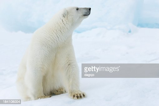A picture of a polar bear sitting in snow