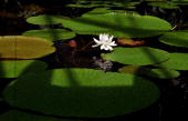 Picture of a 'Victoria Regia' taken at the Botanical Garden of Bogota in the Colombian capital on November 9 2009 Natural of the Amazon Jungle the...