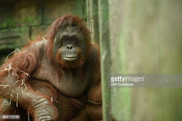 A picture of an an orangutan taken on June 23 2017 at Beauval zoo in SaintAignansurCher / AFP PHOTO / GUILLAUME SOUVANT