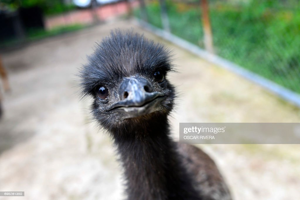 Picture of an emu (Dromaius novaehollandiae) at the National Zoo of El Salvador in San Salvador on June 12, 2017. Four emus were born through artificial incubation in the zoo last February, the first occurrence in captivity in El Salvador. / AFP PHOTO / Oscar RIVERA