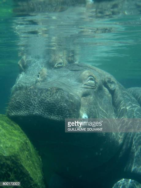 Picture of an hippopotamus taken on June 23 2017 at Beauval zoo in SaintAignansurCher / AFP PHOTO / GUILLAUME SOUVANT