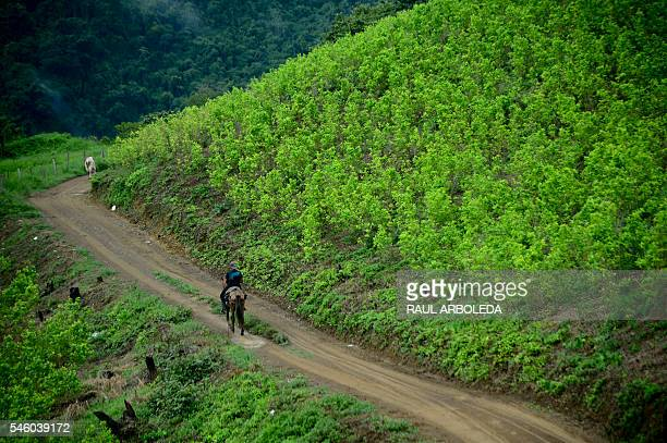 Picture of coca plantations in Pueblo Nuevo Briceño municipality Antioquia department Colombia taken on July 10 2016 day in which the government and...